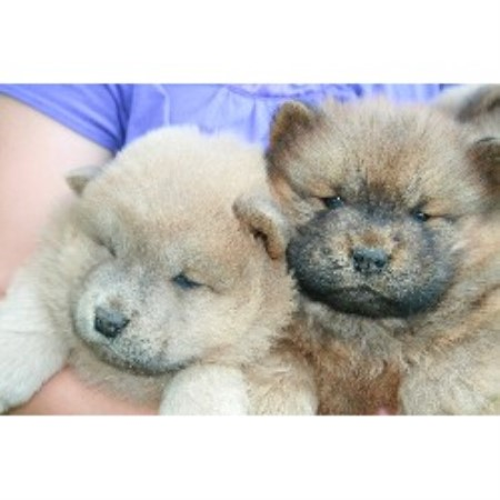 Chows and Siberian Huskies, Chow Chow Breeder in Monticello