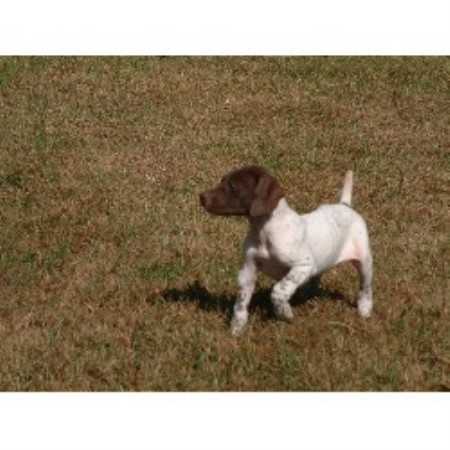 Shady Meadows Kennel German Shorthaired Pointer Breeder In Hume Missouri