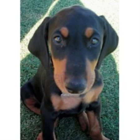 Hacienda Bassetti Doberman Pinscher Breeder In San Tan