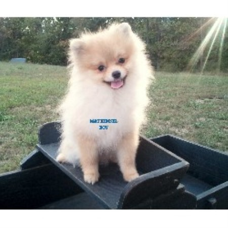 pomeranian breeders va m t kennel pomeranian breeder in winchester virginia 4013