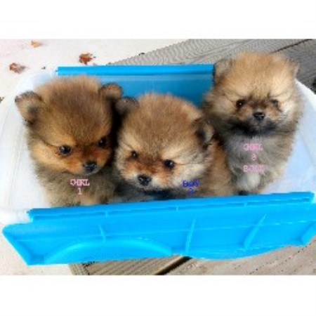 M Amp T Kennel Pomeranian Breeder In Winchester Virginia