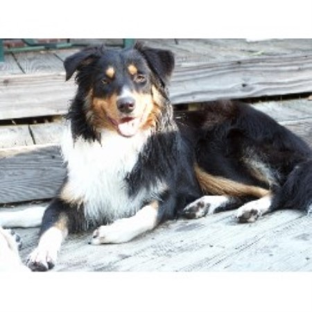 English Shepherd breeder Martinsville 17341