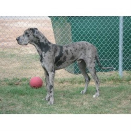 Courtney S Great Danes Great Dane Breeder In Cleveland Texas