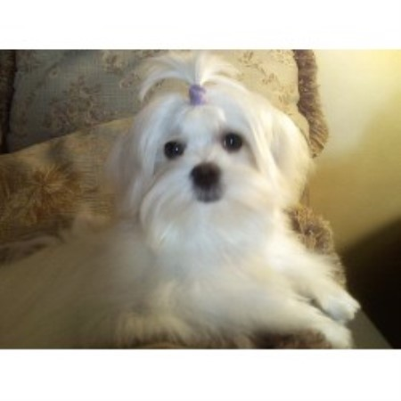 Maltese Breeders In North Carolina Freedoglistings Dog Breeds | Dog ...