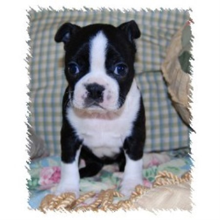 Boston Terrier breeder Aledo 17364