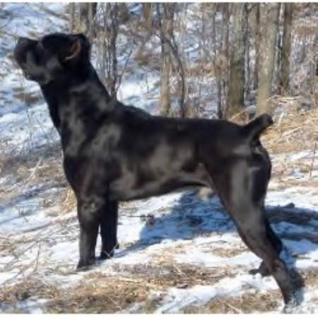 Kennel Byonics Cane Corso Italian Mastiffs Cane Corso Breeder In Grantsburg Wisconsin