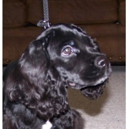 cocker spaniel puppies iowa american cocker spaniel breeders in iowa freedoglistings 5364