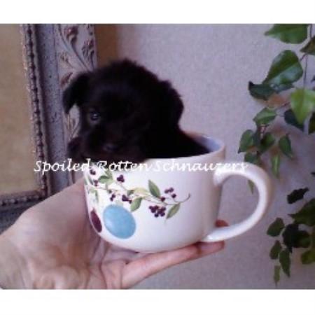 Miniature schnauzer breeders in georgia freedoglistings apps