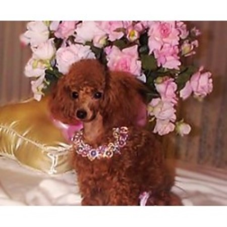 E Marie Kuster Poodle Toy Breeder In Bakersfield California