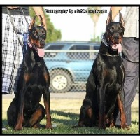 The King Of Dobermans