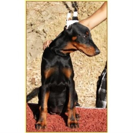 The King Of Dobermans Doberman Pinscher Breeder In Tujunga California