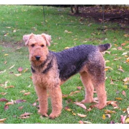 Airedale Terrier stud in Waldport