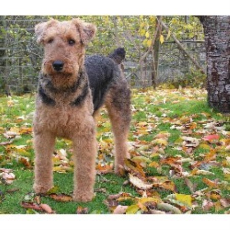 Airedale Terrier stud in Oregon