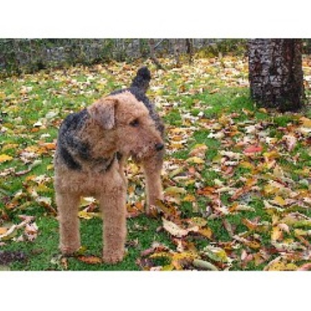 Airedale Terrier stud in Waldport, Oregon