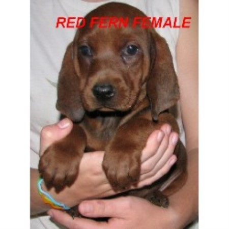 Redbone Coonhound breeder Waldron 17526