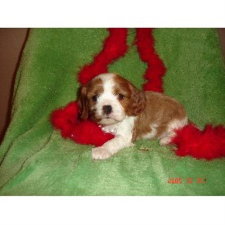 Cavalier King Charles Spaniel breeder Union 17563
