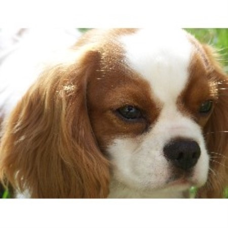 Brookside Cavalier Cavalier King Charles Spaniel Breeder In Manchester Massachusetts