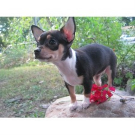 Chihuahua breeder Logansport 17587