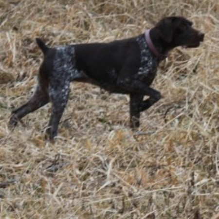 Pointers Of The Valley German Shorthaired Pointer Breeder In Rock Valley Iowa