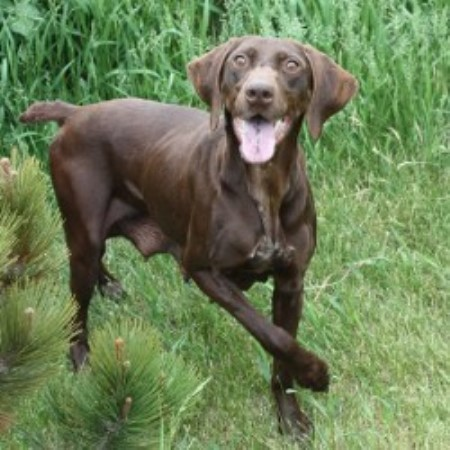 Pointers Of The Valley German Shorthaired Pointer Breeder