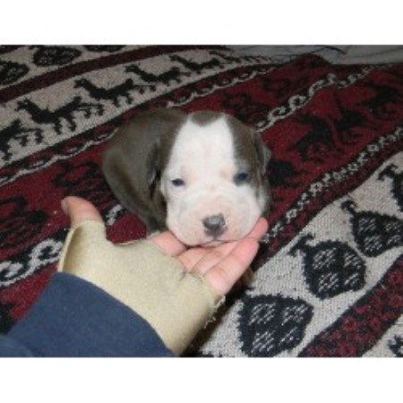 American Pit Bull Terrier breeder Shenandoah Junction 17631