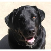 Windfields Labradors, Llc