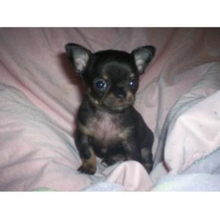 Sue Chihuahua Breeder In Frankfort Illinois