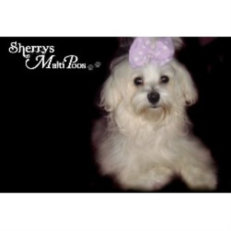 Sherrys Maltipoos Maltese Breeder In Fitzgerald Georgia