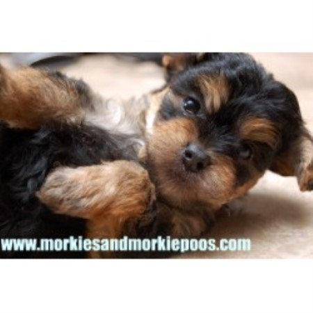 Schnoodle Dogs For Sale Gta Canada