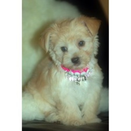 Schnoodle Dogs For Sale Gta Ontario