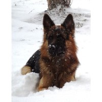 Breezy Meadows Long Coat German Shepherds