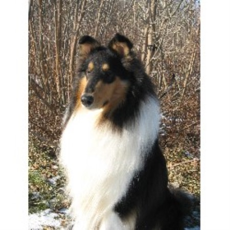 Collie breeder Ypsilanti 17748