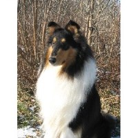 Edenrock Collies Of Michigan