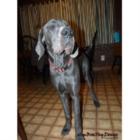 Great Dane breeder in Milford, Delaware
