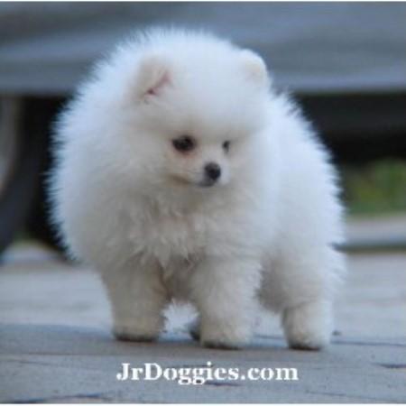 Jr Doggies Pomeranian Breeder In Floresville Texas