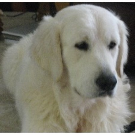 Nolichucky Goldens Golden Retriever Breeder In Chuckey Tennessee