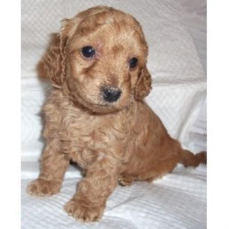 Mini Goldendoodle Puppies, Goldendoodle Breeder in Martinton, Illinois