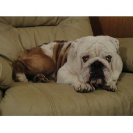 Carolina Elite Bulldogs English Bulldog Breeder In Smithfield North Carolina