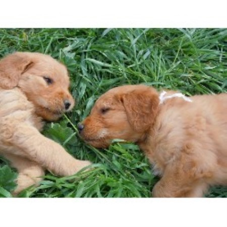 free goldendoodle puppies in new york