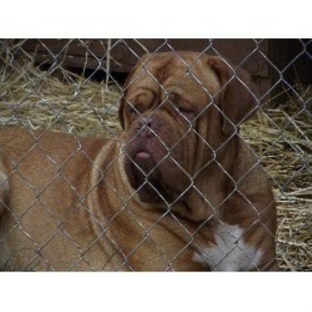 Dogue De Bordeaux breeder Brookline 17907