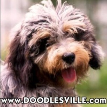 Doodlesville Goldendoodle Breeder In Danville Virginia