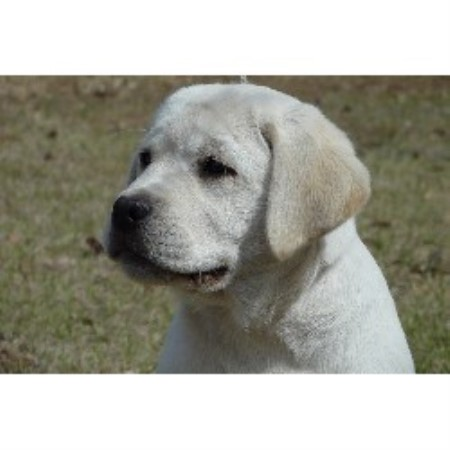 Labrador Retriever Breeder 17928