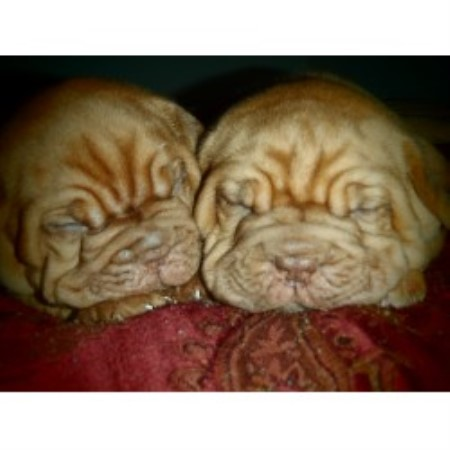 Noble Bordeauxs, Dogue De Bordeaux Breeder in Calgary, Alberta
