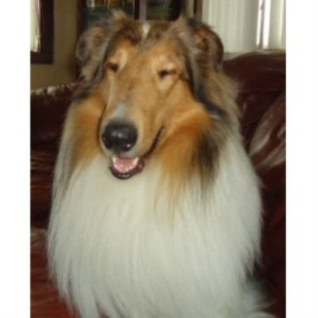 Collie breeder in Wisconsin