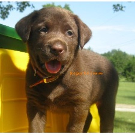 Labrador Retrievers for sale in Michigan