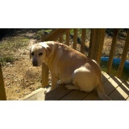 Sugarloaf Labradors, Labrador Retriever Breeder in