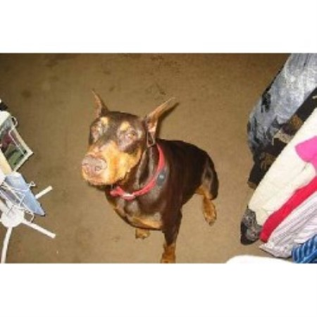 Doberman Pinscher breeder Tonica 17972