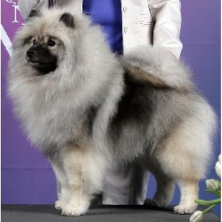 Keeshond Rescue Owenbriar, Keeshond Br...