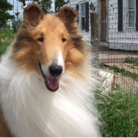 Collie breeder in New Mexico