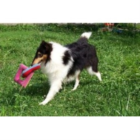 Collie breeder in Los Lunas
